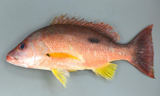 体長50cm前後になる。側扁(左右に平たい)し全体に背が黒く腹にかけてグラデーションする。胸鰭、腹鰭、尻鰭は黄色い。背鰭後方下に濃い褐色の斑紋がある。写真は全長30cmほどの個体。