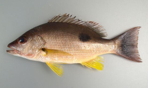 背部の鱗は頭部で一度途切れ、帯状の無鱗域があり、鱗2枚ほどの帯状の鱗域がある。