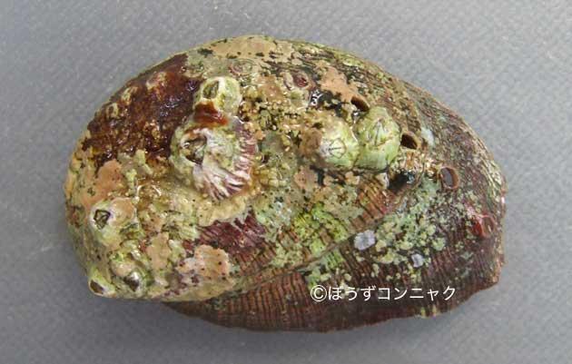 セイヨウトコブシの形態写真