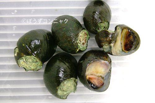 イシマキガイの生物写真