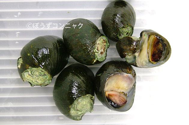 イシマキガイの形態写真
