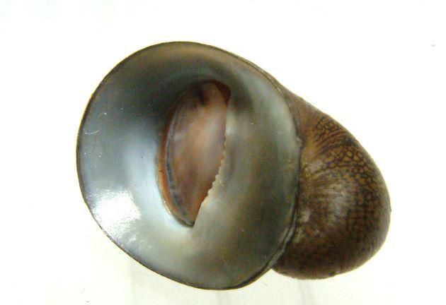 殻長20mm前後になる。薬研を伏せたような形。殻表に三角形に近い明るい褐色の模様が帯状に連なる。