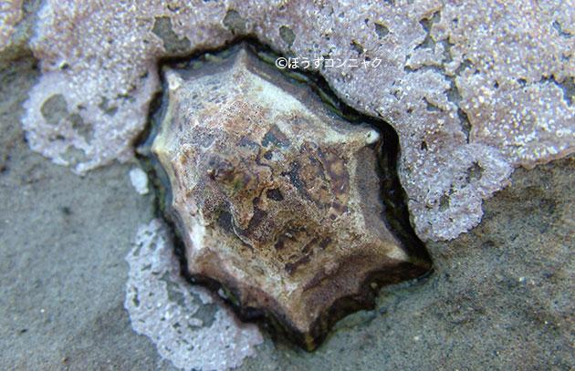 ウノアシの形態写真