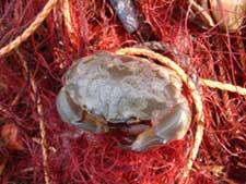 千葉県内房のイセエビ刺し網