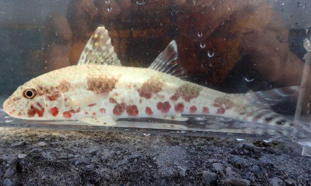 SL 30cm前後になる。尾鰭に暗色の帯がある。体側にゴマ状の斑紋が散らばる。