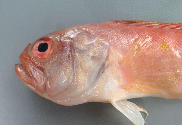 前上顎骨と主上顎骨との間に黒い斑紋がない(スミツキアカタチにはある)