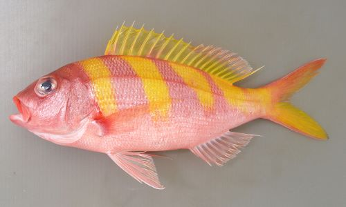 シマチビキの生物写真