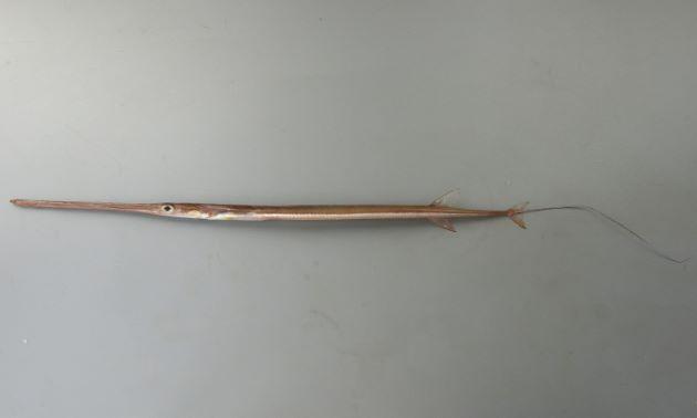 2m SL 前後になる。非常に細長く断面は丸く、棒状。頭部は身体の3分の1ほどもある。赤身を帯びる。尾柄部の側線鱗に後方棘があり、触ると引っかかる。