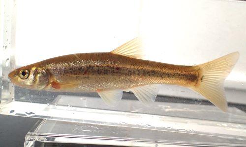 体長10cm前後になる。体側にめだった斑紋はなく薄汚れた鬱金色。尻鰭の基底最前部は背鰭基底後端とほぼ同じ位置。退色にうっすらと暗色帯がある。[体長9cm、秋田県雄物川産]