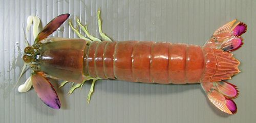 ハナシャコの生物写真