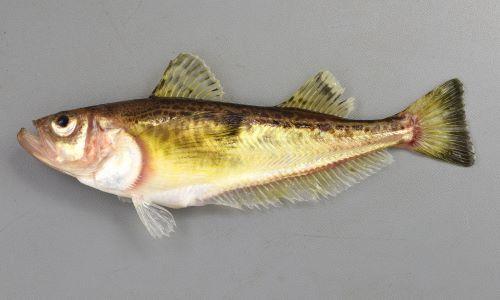 30cm TL 前後になる。鱗(うろこ)がない。口は上を向き、側扁し体高は腹部で高い。背中に不定形の褐色の文様が散らばる。鰓蓋に5つの鋭い棘がある。