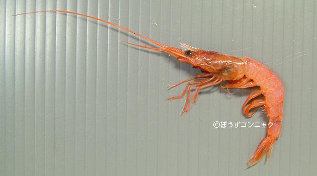 ヒメクダヒゲエビの形態写真