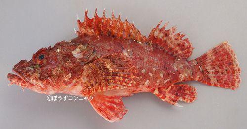 ミミトゲオニカサゴの生物写真