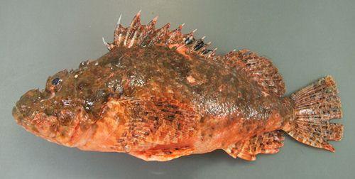 オオウルマカサゴの生物写真