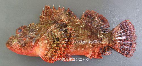 ヒュウガカサゴの生物写真