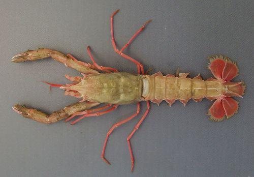 ヤサオキナエビの生物写真