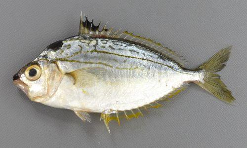 9cm SL 前後になる。体は強く側偏する(平たい)、全体に銀白色で、目の後方上に黒斑がある。口は折り畳まれて引き出すと下方に伸びる。背鰭、尻鰭の棘は強く鋭い。