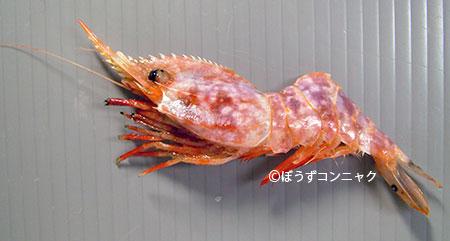 ミカワエビの生物写真