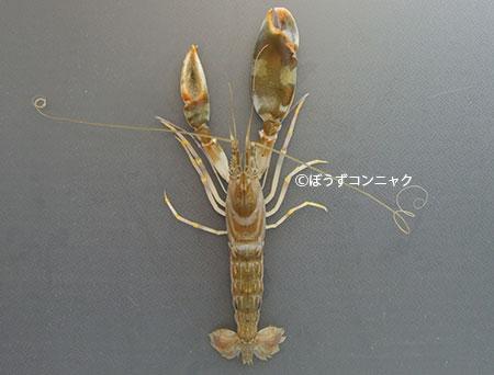 オニテッポウエビの形態写真