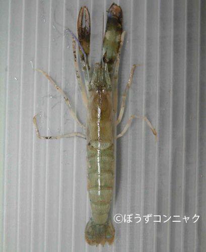 ニセオニテッポウエビの生物写真