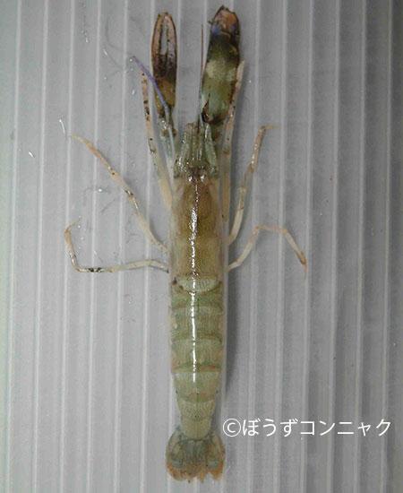 ニセオニテッポウエビの形態写真
