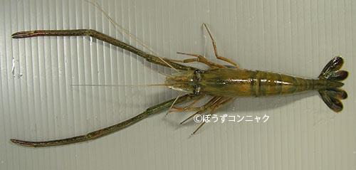 ミナミテナガエビの形態写真