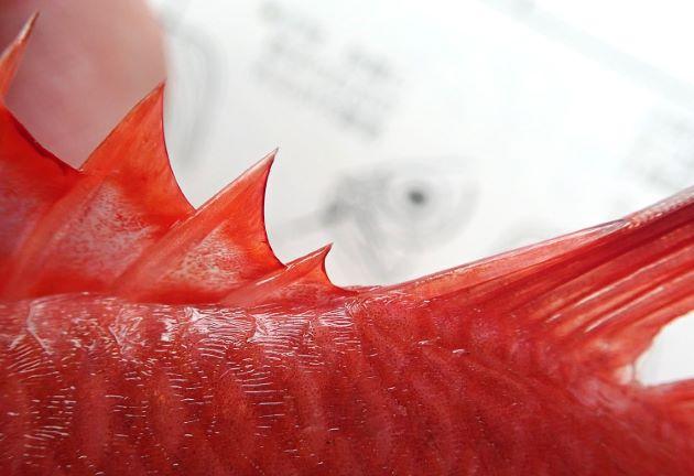 背鰭棘数は11、背鰭第10と11の間は完全に分離。