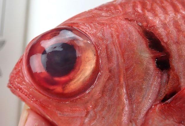鰓蓋膜の黒色域は主鰓蓋骨の少し下まで伸びる。