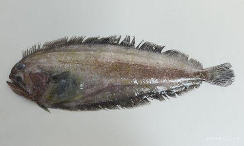 ザラガレイの生物写真