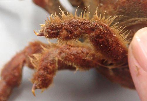 第4、第5脚は非常に短くて小さく、先端の指部は爪状でニッパーのように物を挟むのに適した形状をしている。