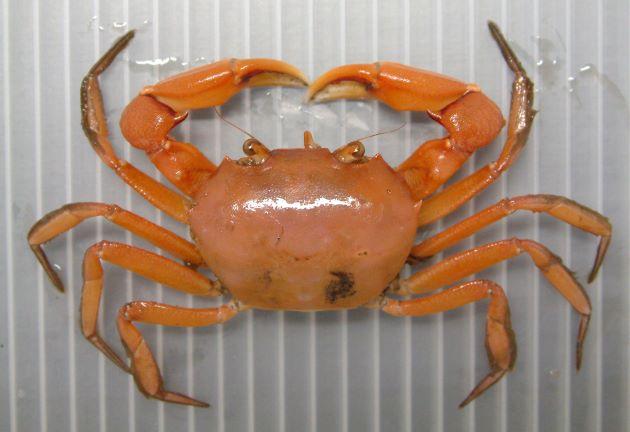 甲長50ミリ前後になる。甲はすべすべして赤みを帯び、雄は著しく鉗脚(はさみ)が長い。[雌]