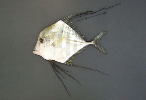 SL1m前後になる。小さい時は真四角に近い。背から吻かけては丸みを帯びて目に至り、目の前は微かにくぼむ。幼魚期には背ビレと腹ビレ、尻ビレが著しく伸びる。成長にともない背鰭、尻鰭の糸状に伸びたものがなくなる。[体長15cm]
