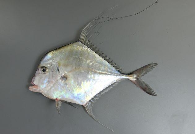 SL1m前後になる。小さい時は真四角に近い。背から吻かけては丸みを帯びて目に至り、目の前は微かにくぼむ。幼魚期には背ビレと腹ビレ、尻ビレが著しく伸びる。成長にともない背鰭、尻鰭の糸状に伸びたものがなくなる。[体長30cm]