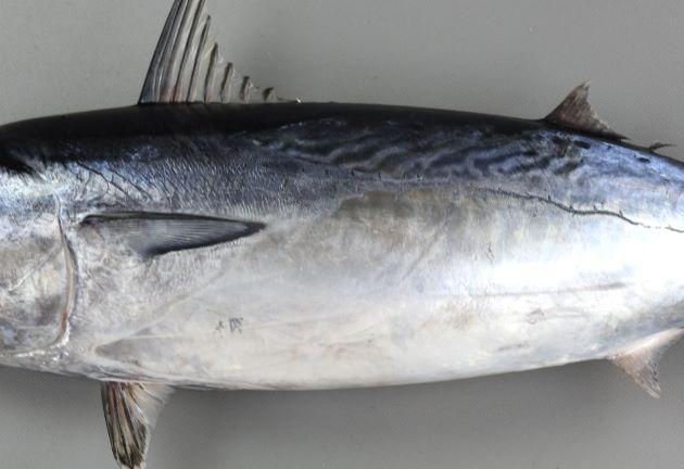 鰓ぶたの後ろに続く鱗のある部分は第一背ビレと第二背ビレの中間で糸状になる。マルソウダは細くなりながらも糸状にはならず後方に長く続く。