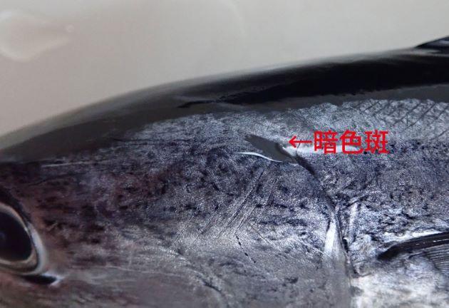 鰓蓋上端にある暗色斑(黒い)は背中の暗色(黒い)部分から離れる。