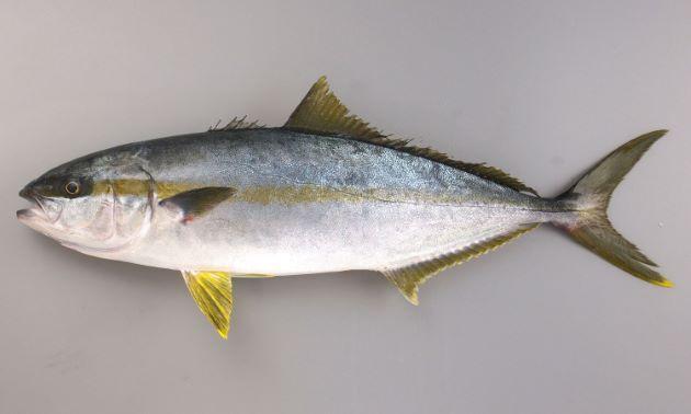 https://www.zukan-bouz.com/public_image/Fish/142/Thumb630/hiramasa.jpg