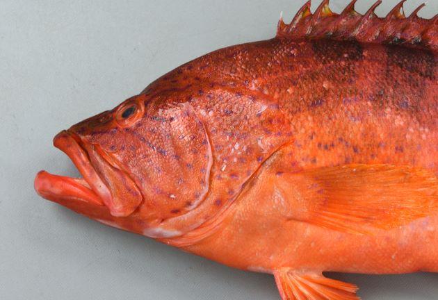 40cm SL 前後になる。ずんぐりして側へん(左右に平たい)。体表に褐色の小さな斑紋があり、背中後部に短い帯上の濃い褐色の斑がある。[全長41cm・重さ1.21kg]