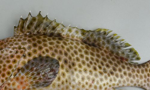 背鰭下に目立った褐色斑はない。背鰭始部・背鰭中心部・柄部に斑紋が薄い部分がある。