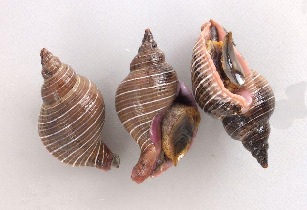 殻長4cm前後になる。螺塔(貝殻の上部)は細くなり、螺肋がはっきりしたいる。細くて明確な白い筋がある。