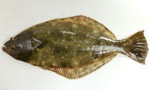 ヒラメのサムネイル写真