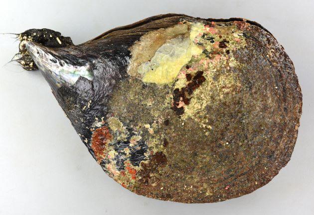 クロタイラギの形態写真