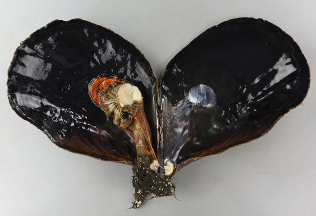 26cm SL 前後になる。貝殻は厚く硬く割れにくい。肋上にはまばらに棘がある。真珠層は二分されず貝柱は真珠層をはみ出してついている。