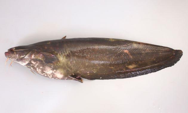 体長60センチ前後になる。眼が左右につき、出ていて腹部からでも見える。鼻孔が筒状に突出している。全体に黒いが、黄色みを帯びる不定形の斑紋が散らばることも。鯰にはアルビノが出現することがあるが、本種の出現率がもっとも高い。また画像は体長50センチ。