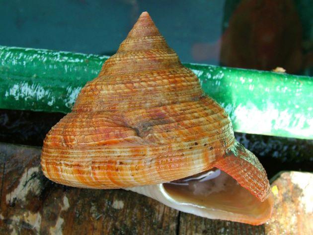 オキナエビスガイの形態写真