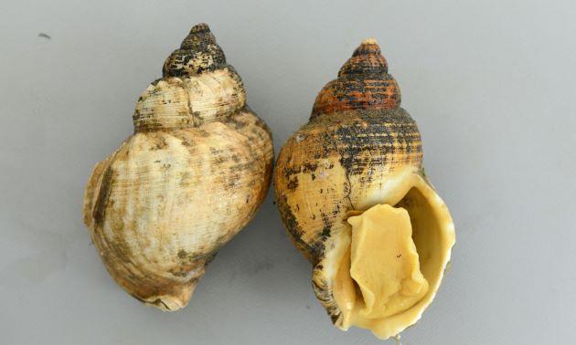 殻長7.5cm前後になる。貝殻は厚く等間隔、均等な幅の螺肋がある。アイスランド産
