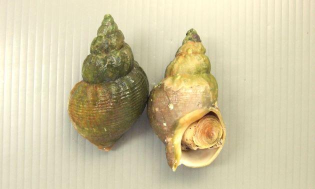 殻長5センチ前後になる。貝殻は厚く等間隔、均等な幅の螺肋がある。カナダ産