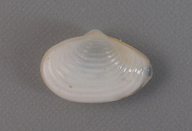 チヨノハナガイの形態写真