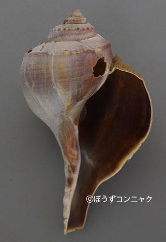 ミゾコブシボラの形態写真