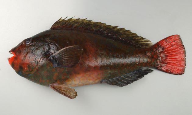 体長45センチ前後になる。やや側扁する。鱗が大きく目が小さい。成長して雄に性転換し、雄は青い。これを「青ブダイ」とも。