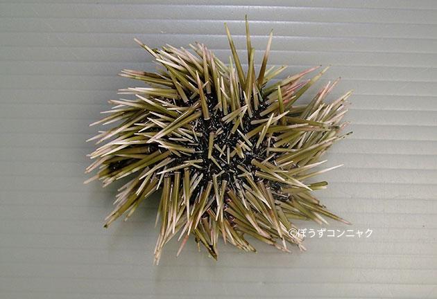 ツマジロナガウニの形態写真
